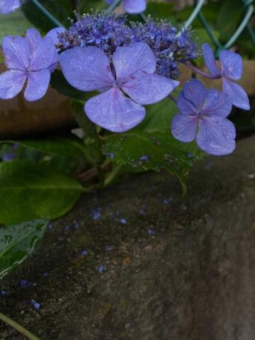2012-06-25ajisai3.jpg
